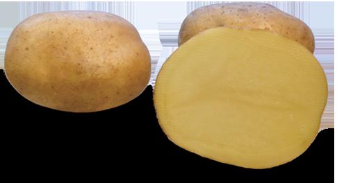 Odmiana Ziemniaka Denar z Hodowli Ziemniaka Zamarte