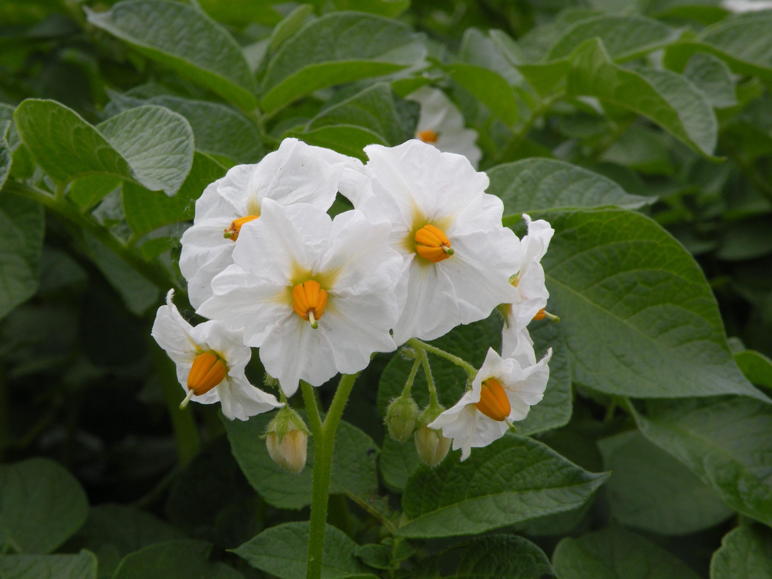 Kwiat ziemniaka Denar z Hodowli Ziemniaka Zamarte
