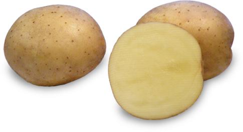Kartoffelsorte Bohun mit HZ Zamarte
