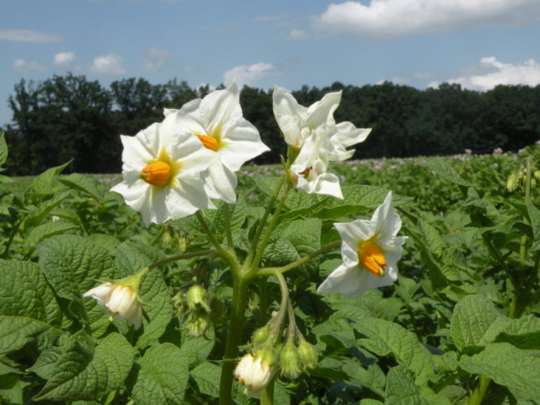 Blütenstand Kartoffeln Bohun mit HZ Zamarte