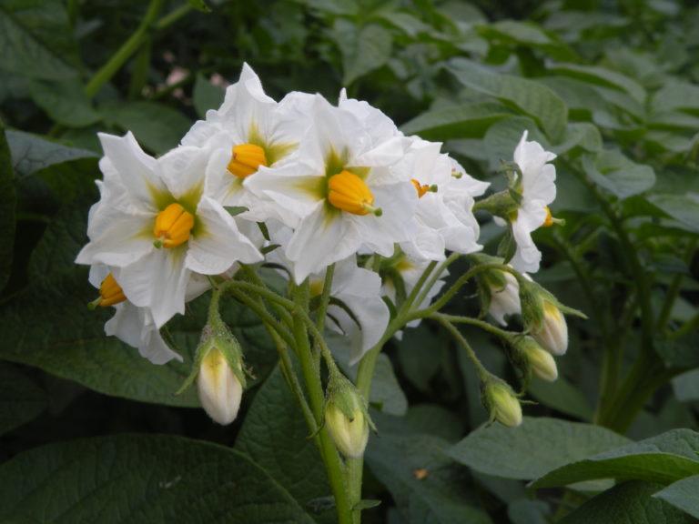 Cedron kwiat