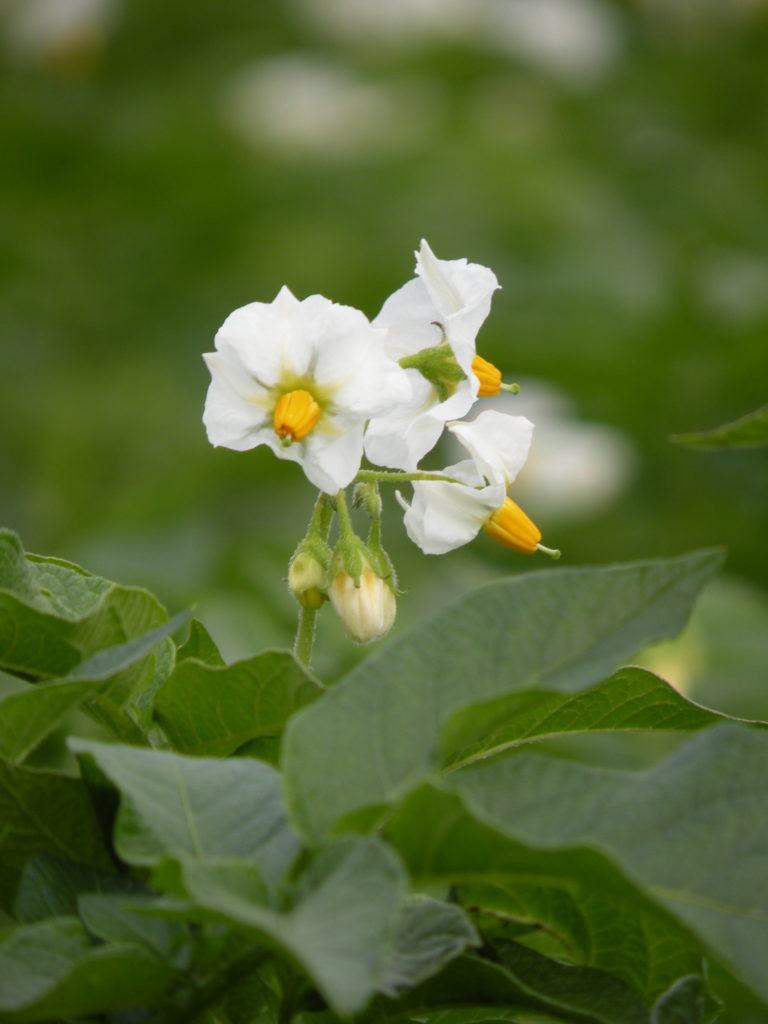Werbena kwiat