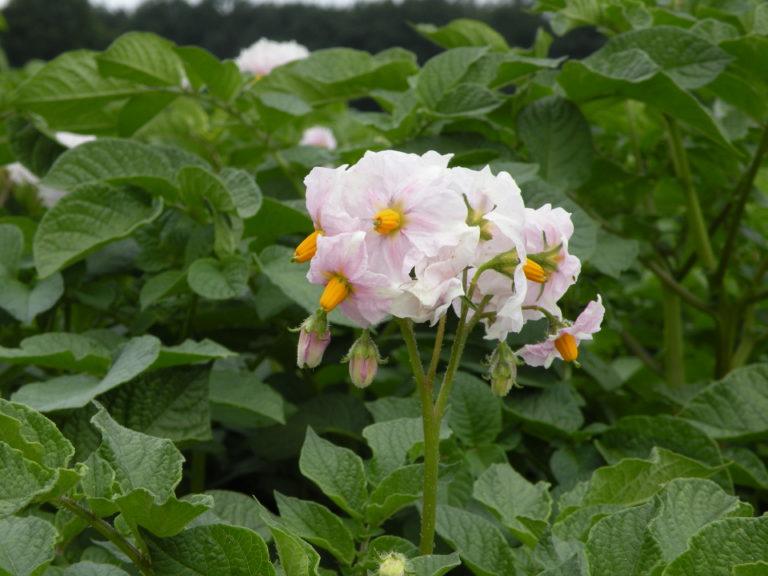 Lawenda kwiat