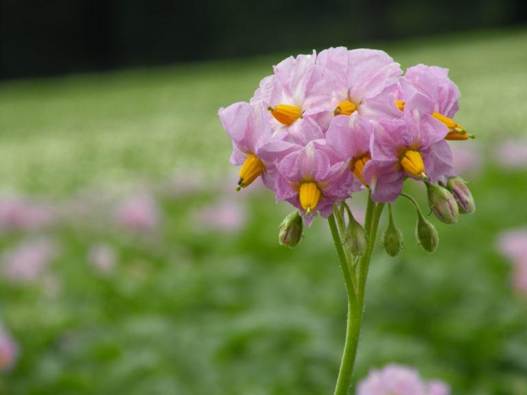 Kwiat ziemniaka Finezja z Hodowli Ziemniaka Zamarte