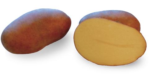 Odmiana Ziemniaka Gardena z Hodowli Ziemniaka Zamarte