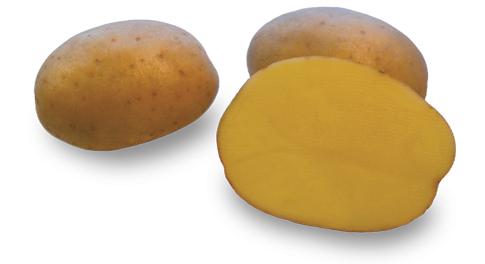Kartoffelsorte Ismena mit HZ Zamarte