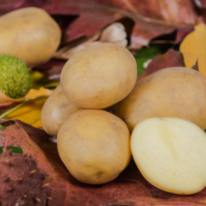 Odmiana Ziemniaka Irmina z Hodowli Ziemniaka Zamarte