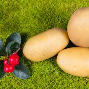 Odmiana Ziemniaka Ismena z Hodowli Ziemniaka Zamarte