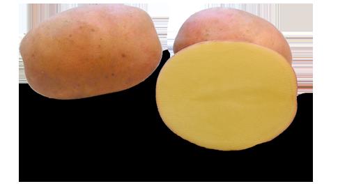 Odmiana Ziemniaka Lawenda z Hodowli Ziemniaka Zamarte