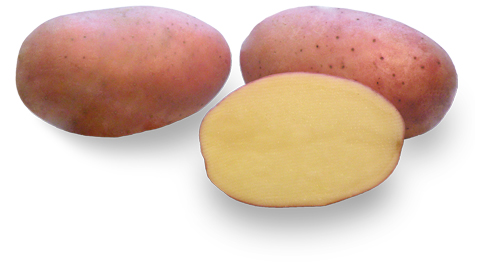 Odmiana Ziemniaka Lech z Hodowli Ziemniaka Zamarte