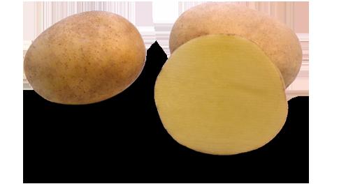 Kartoffelsorte Michalina mit HZ Zamarte