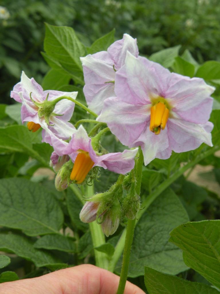 Blütenstand Kartoffeln Malaga mit HZ Zamarte