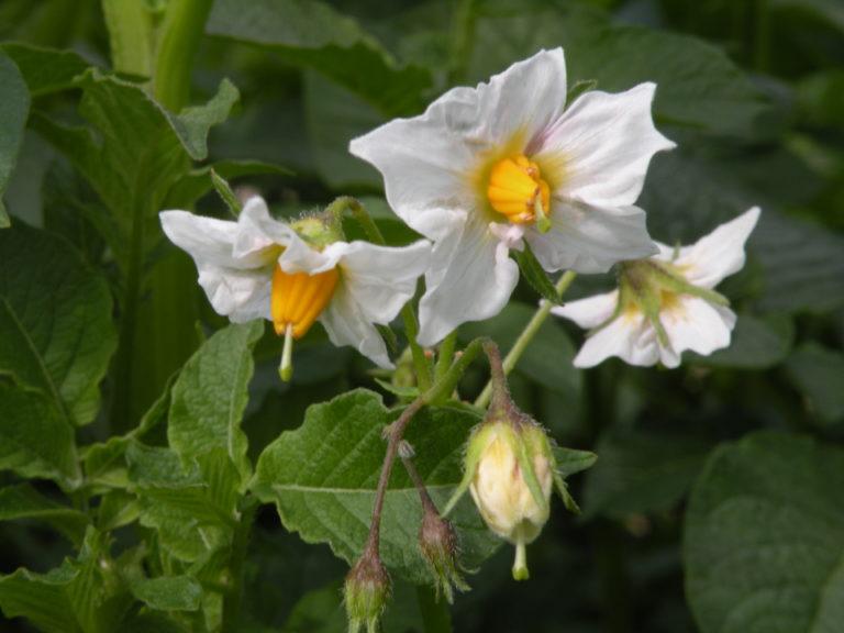 Kwiat ziemniaka Rudawa z Hodowli Ziemniaka Zamarte