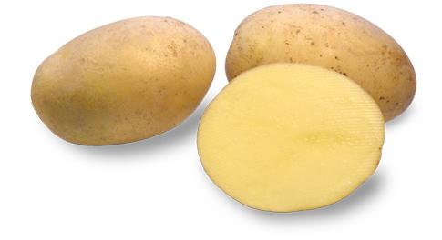 Kartoffelsorte Tacja mit HZ Zamarte