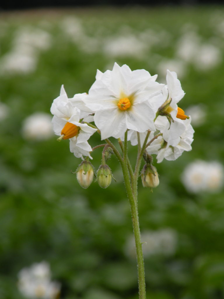 Blütenstand Kartoffeln Tacja mit HZ Zamarte