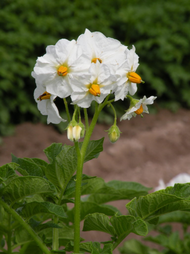 Kartoffelblume Impresja mit HZ Zamarte