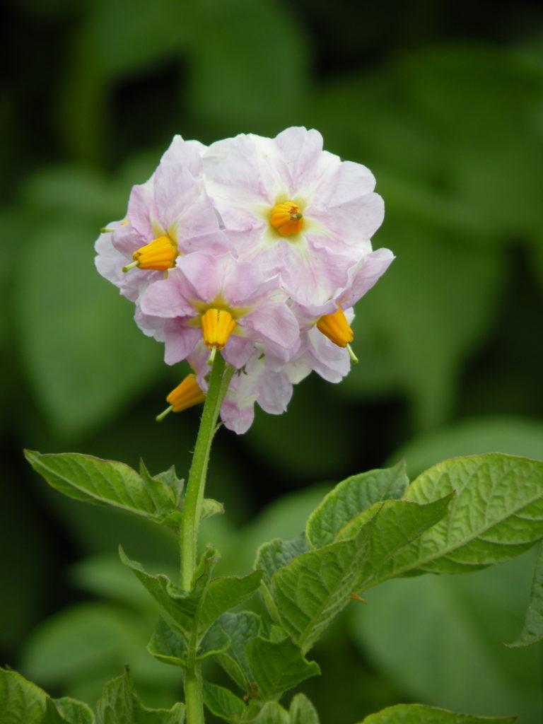 Kwiat ziemniaka Bila z Hodowli Ziemniaka Zamarte
