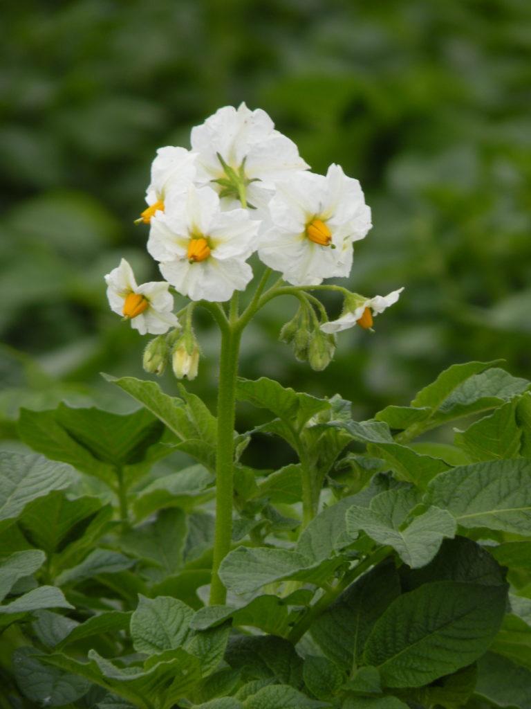 Michalina kwiat