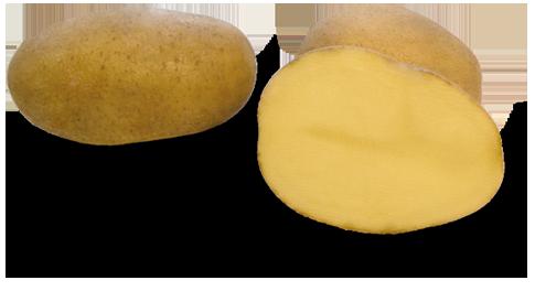 Odmiana Ziemniaka Lord z Hodowli Ziemniaka Zamarte