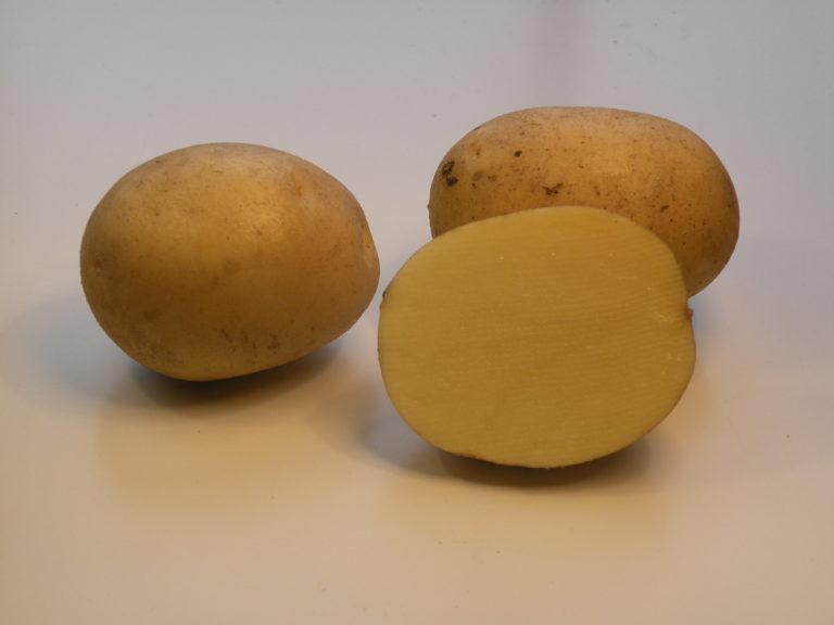 Kartoffelsorte Widawa mit HZ Zamarte